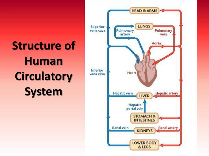 Structure of Human Circulatory