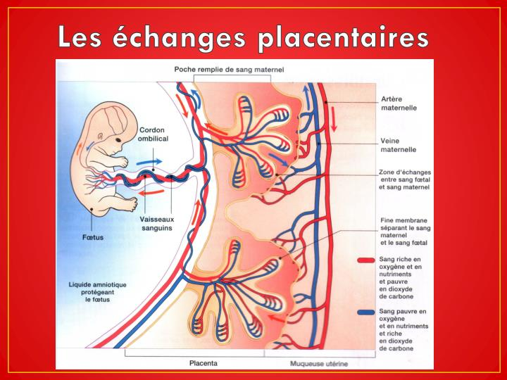 Les échanges placentaires