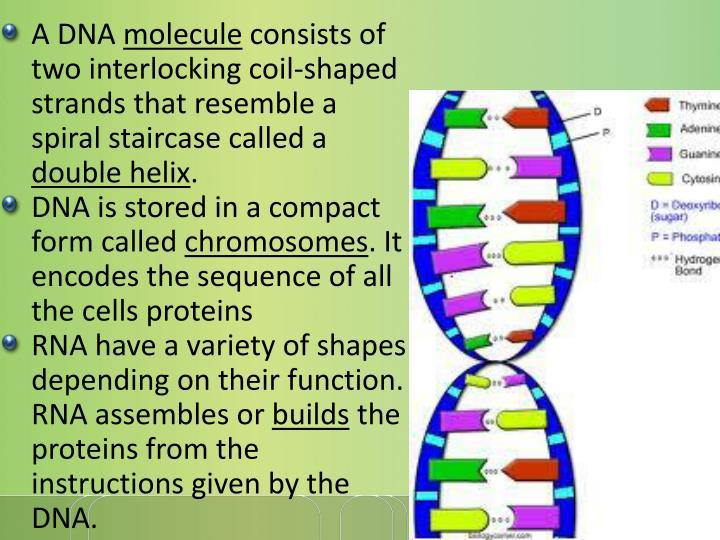 A DNA