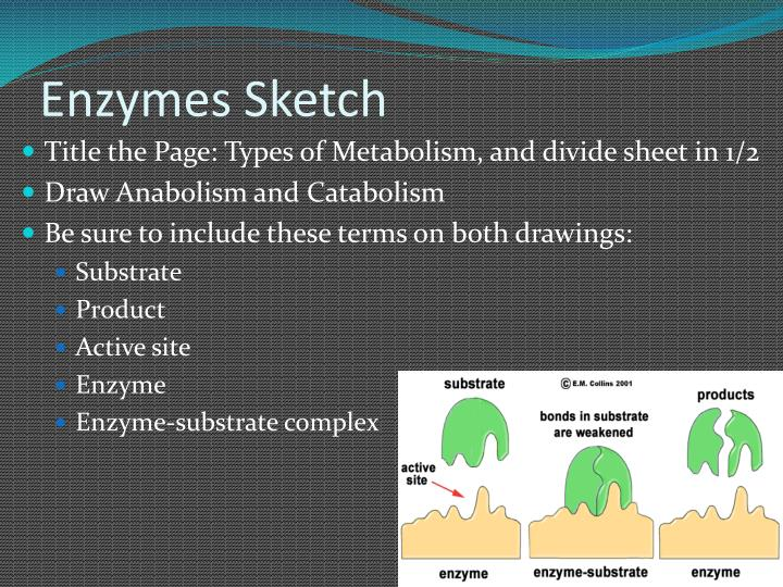 Enzymes Sketch