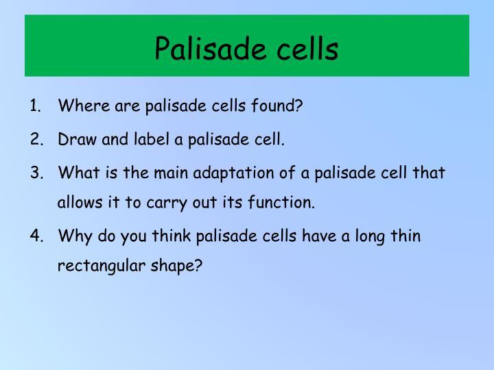 Palisade cells