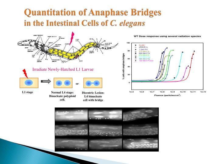 Quantitation of Anaphase Bridges