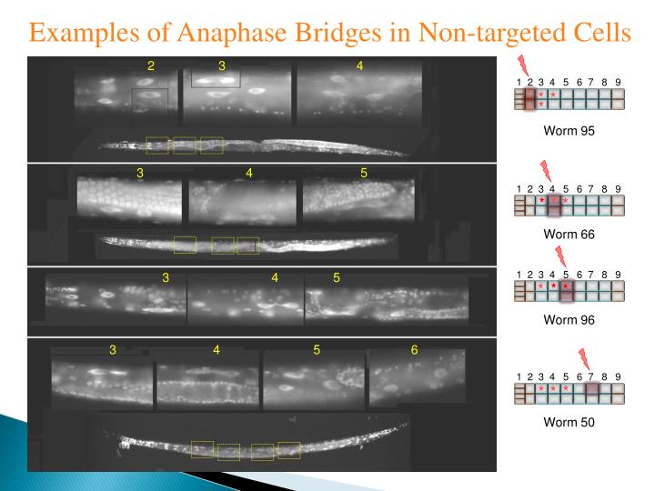 Examples of Anaphase Bridges in Non-targeted Cells
