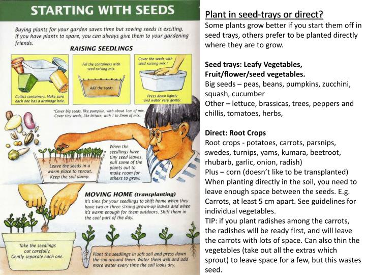 Plant in seed-trays or direct?