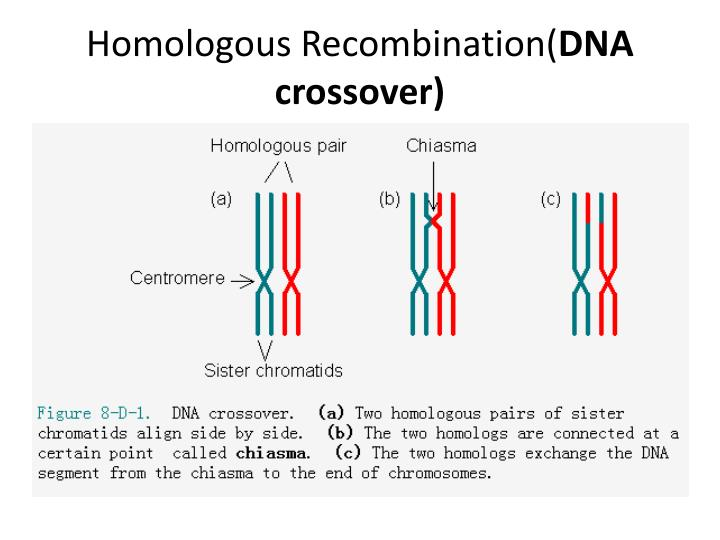 Homologous recombination dna crossover