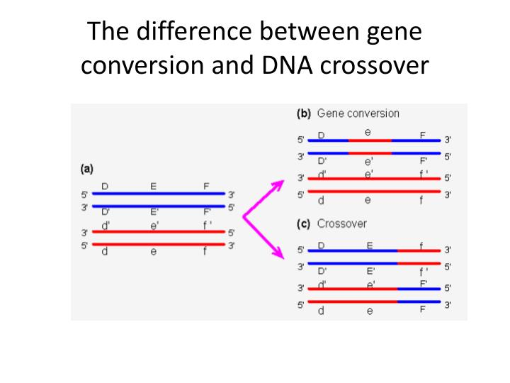 The difference between gene conversion and DNA crossover