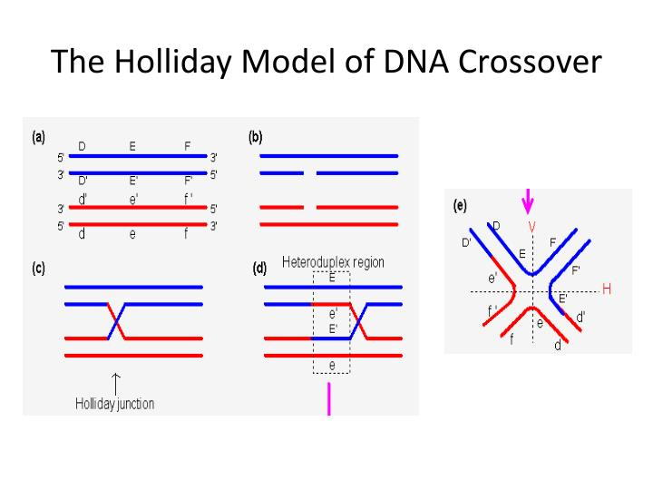 The holliday model of dna crossover