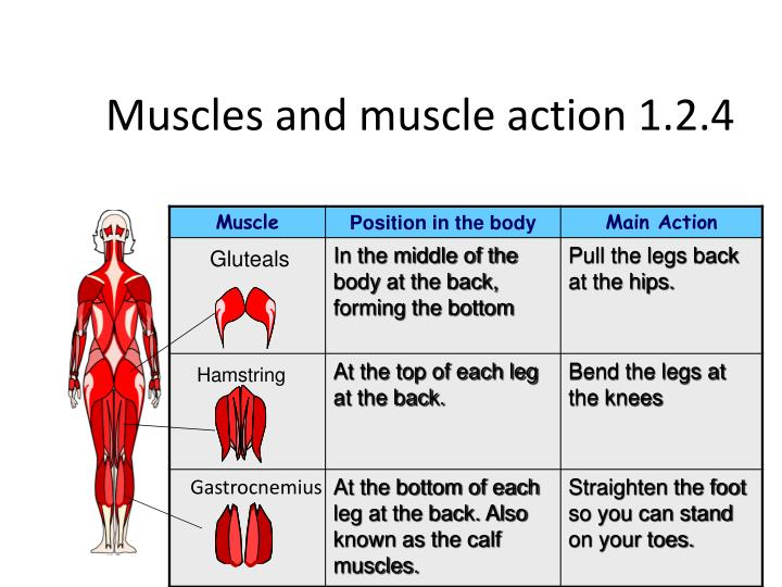 Muscles and muscle action 1.2.4