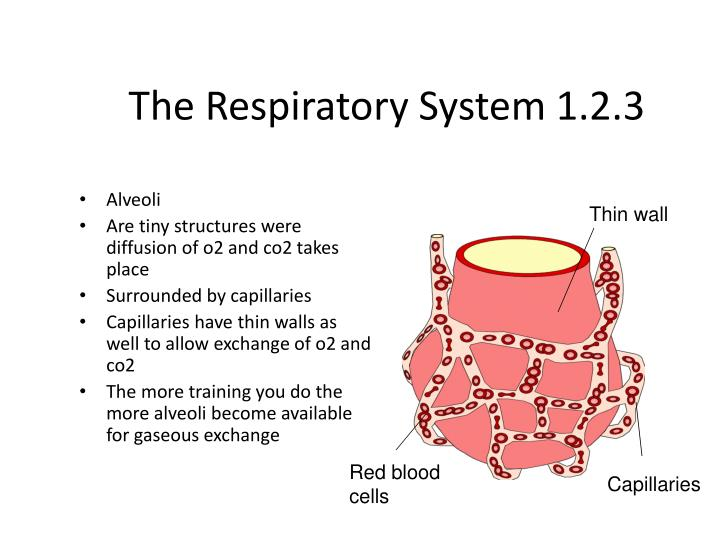 The Respiratory System 1.2.3