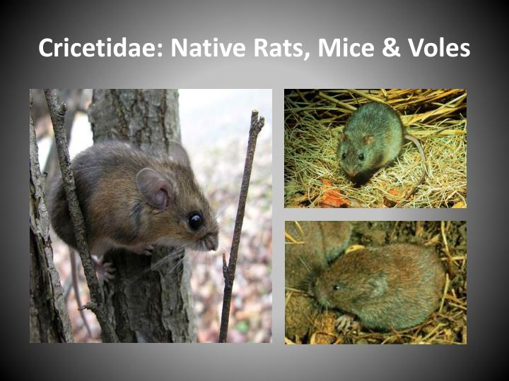 Cricetidae: Native Rats, Mice & Voles