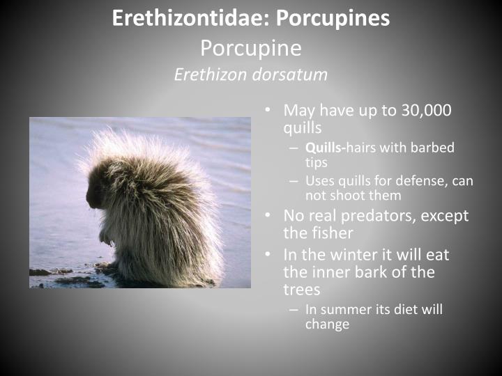 Erethizontidae: Porcupines