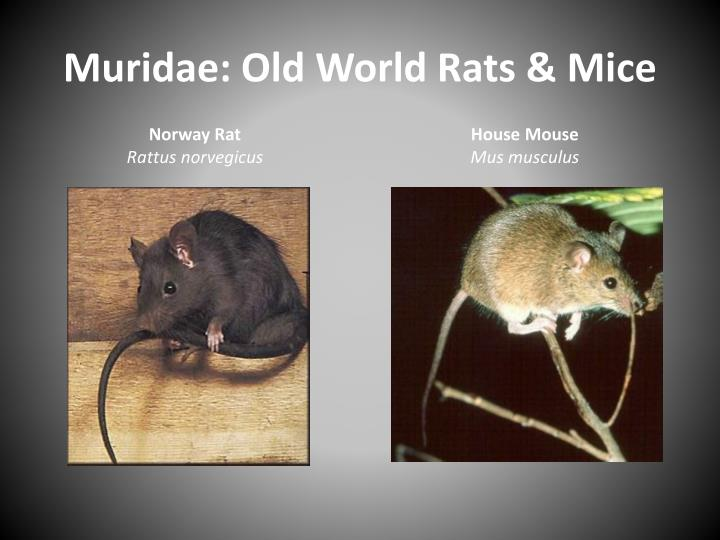 Muridae: Old World Rats & Mice