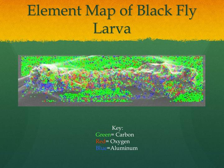 Element Map of Black Fly Larva