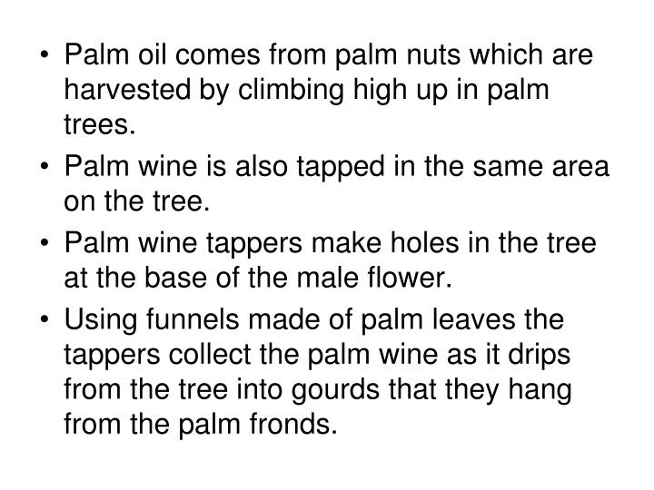 Palm oil comes from palm nuts which are harvested by climbing high up in palm trees.