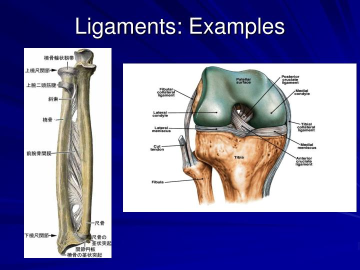 Ligaments: Examples