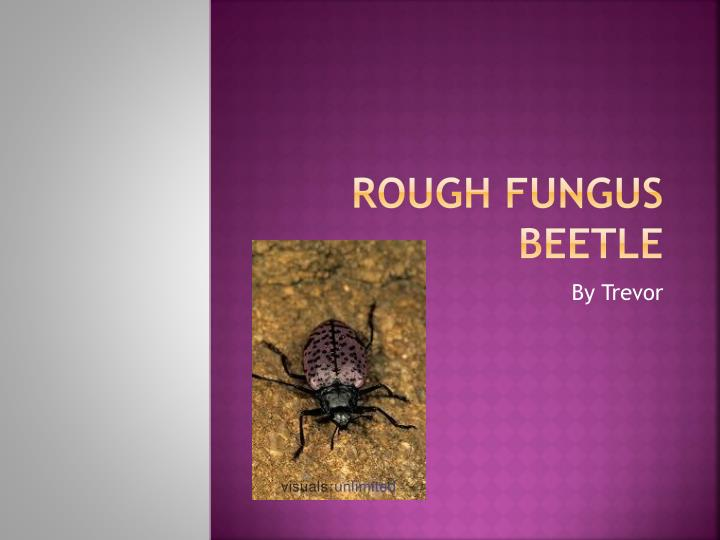 Rough fungus beetle