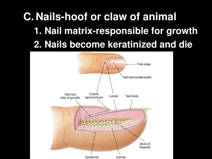 Nails-hoof or claw of animal