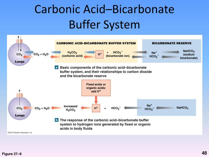 Carbonic Acid–Bicarbonate Buffer System