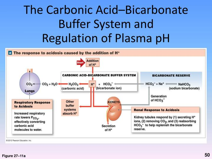 The Carbonic Acid–Bicarbonate Buffer System and