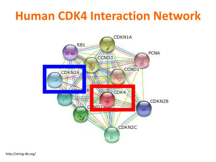 Human CDK4 Interaction Network