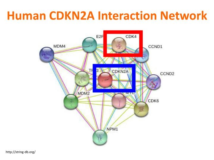 Human CDKN2A Interaction Network