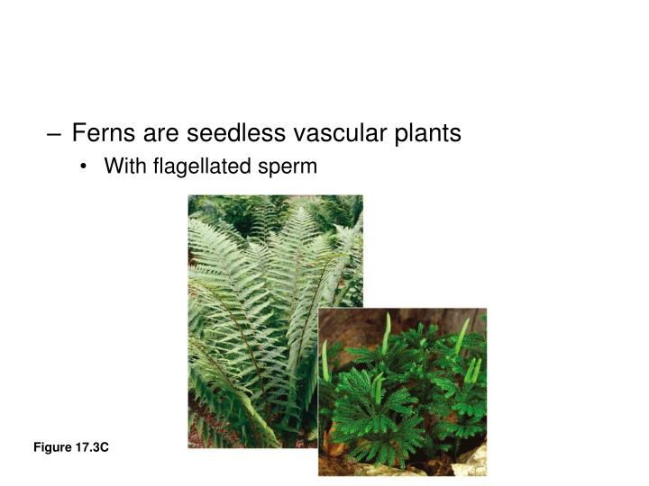 Ferns are seedless vascular plants