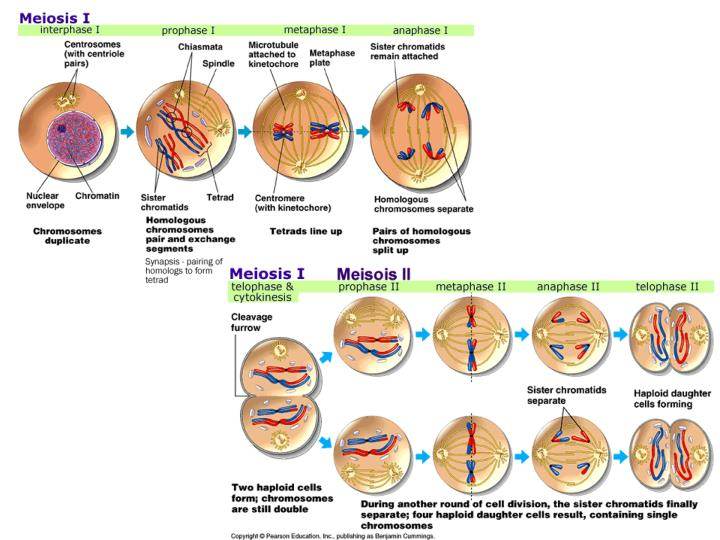 Crossing over during meiosis