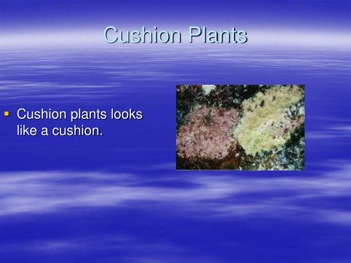 Cushion plants looks like a cushion.