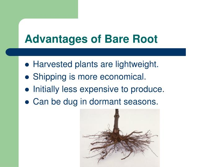 Advantages of Bare Root