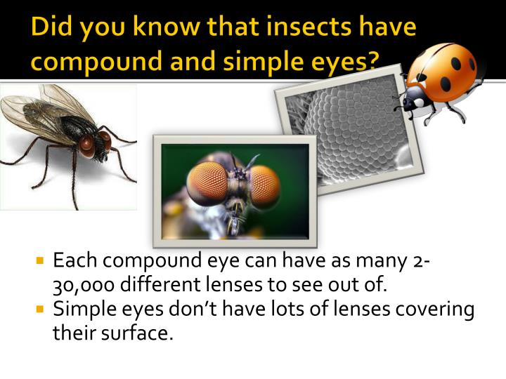 Did you know that insects have compound and simple eyes?