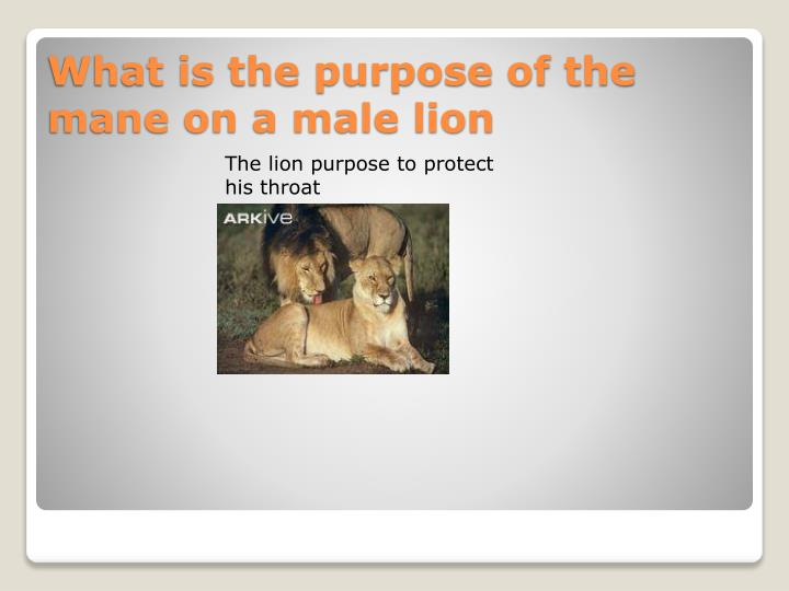The lion purpose to protect his throat