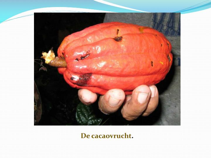 De cacaovrucht