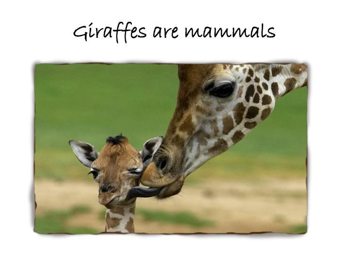 Giraffes are mammals
