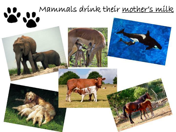Mammals drink their