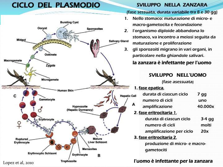 CICLO  DEL  PLASMODIO