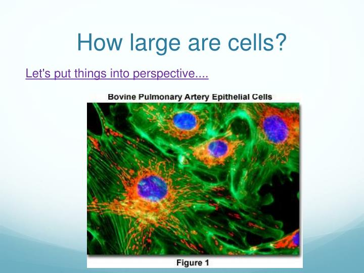 How large are cells