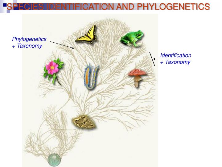 SPECIES IDENTIFICATION AND PHYLOGENETICS