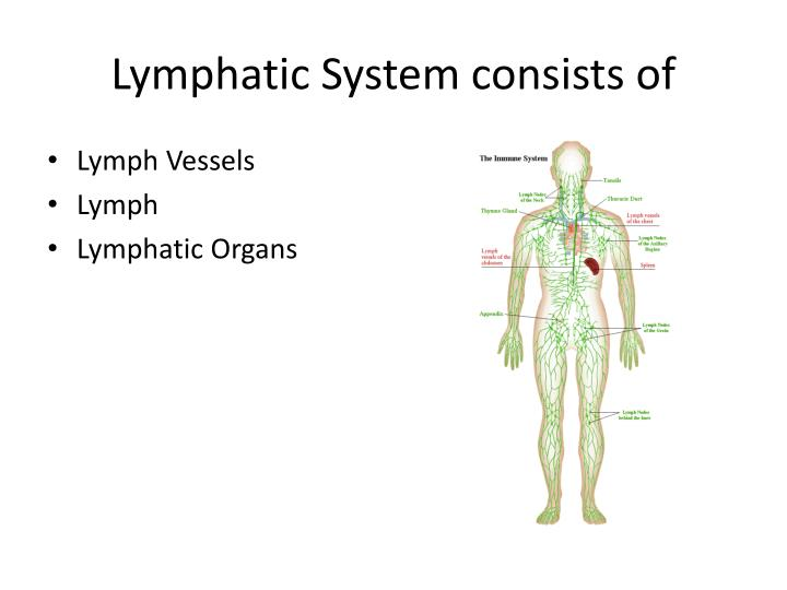 Lymphatic System consists of