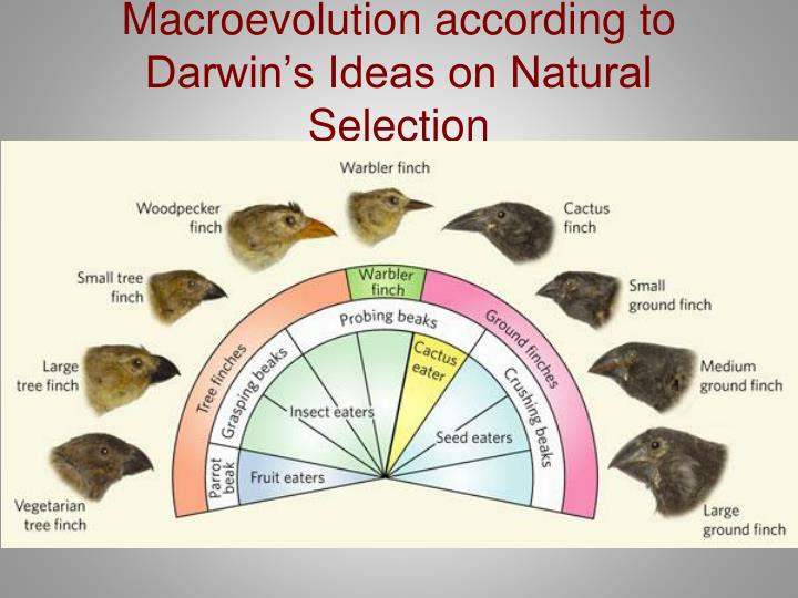 Macroevolution according to Darwin's Ideas on Natural Selection