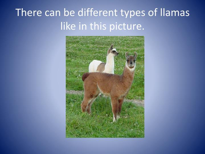 There can be different types of llamas like in this picture.