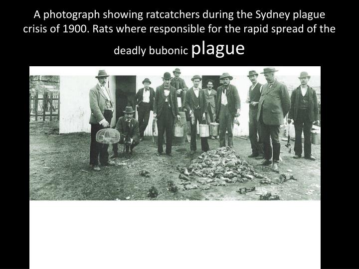 A photograph showing ratcatchers during the Sydney plague crisis of 1900. Rats where responsible for the rapid spread of the deadly bubonic