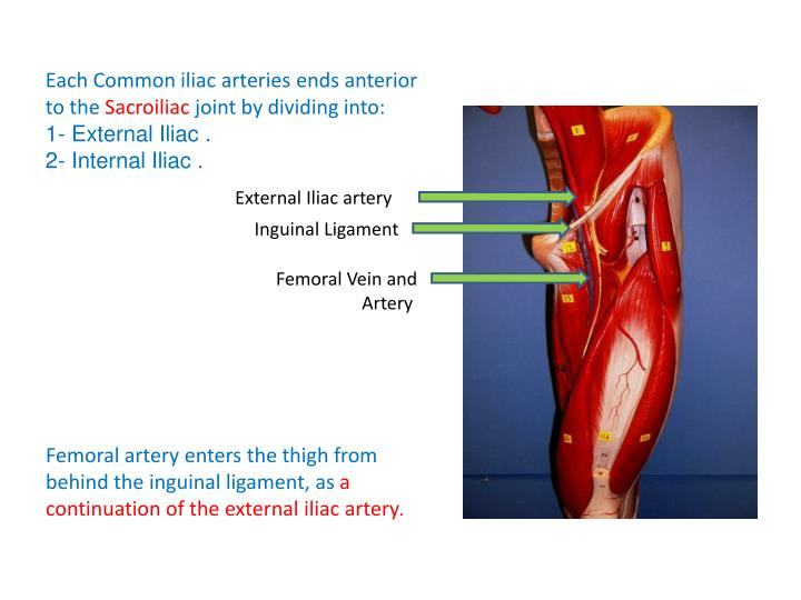 Each Common iliac arteries ends anterior to the