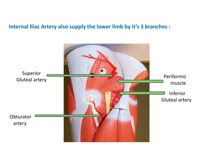 Internal Iliac Artery also supply the lower limb by it's 3 branches :
