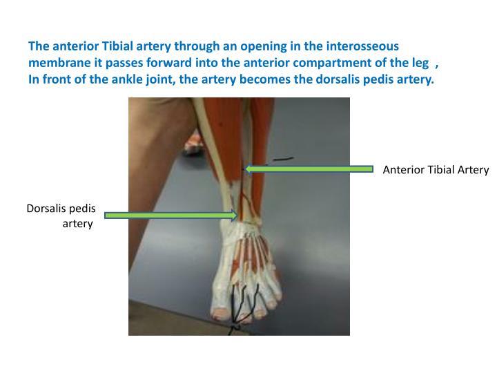 The anterior