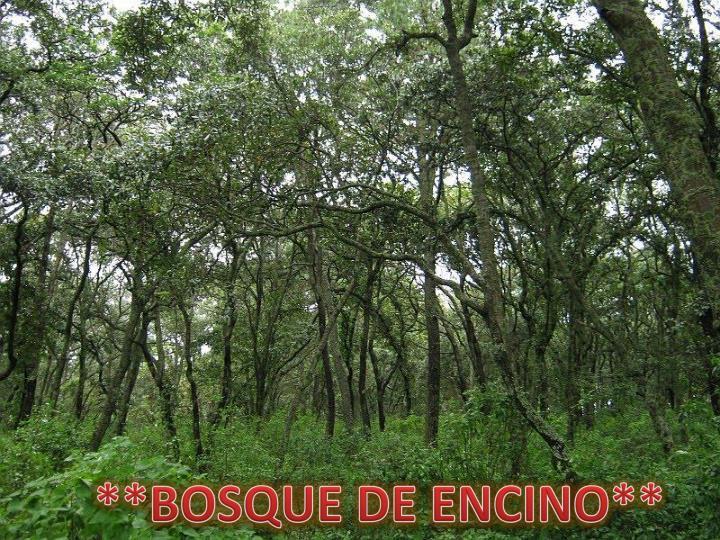 **BOSQUE DE ENCINO**