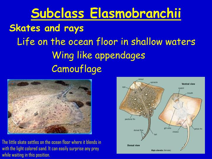 Subclass Elasmobranchii