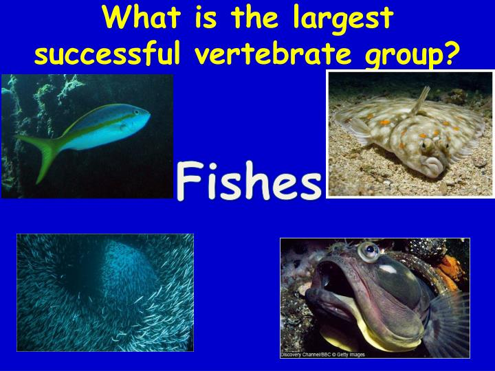 What is the largest successful vertebrate group?