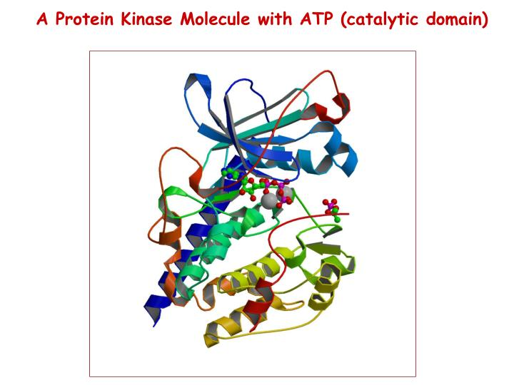 A Protein Kinase Molecule with ATP (catalytic domain)
