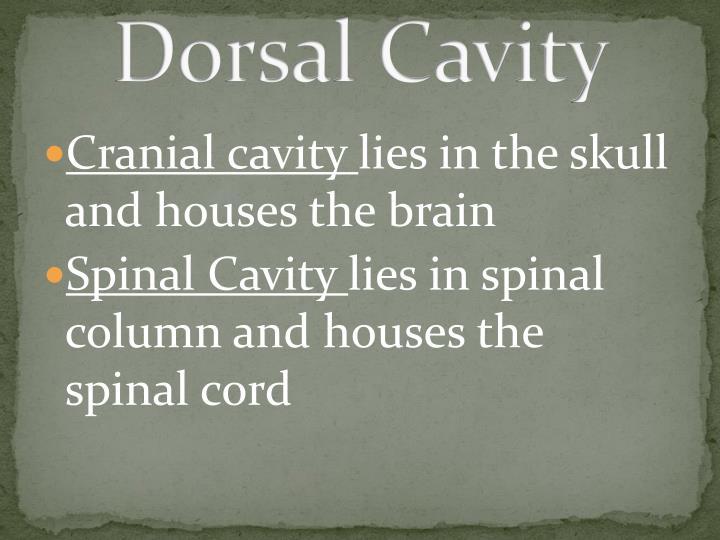 Dorsal Cavity