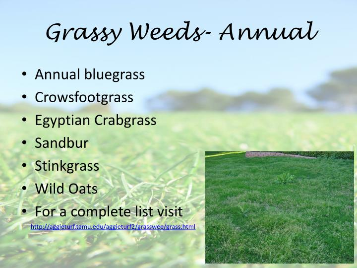 Grassy Weeds- Annual
